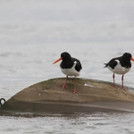 2014_pair-of-oyster-catchers-jpg